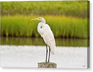 Great White Heron Canvas Print by Scott Pellegrin