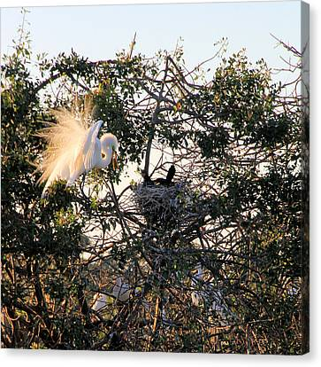 Great White Heron With Chicks Canvas Print by Rosalie Scanlon