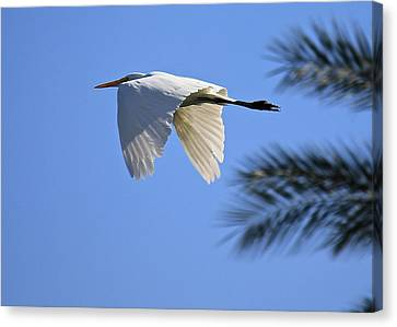 Canvas Print featuring the photograph Great White In Flight by Penny Meyers