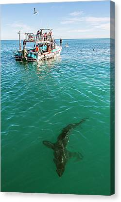 Great White Shark And Boat Canvas Print by Peter Chadwick