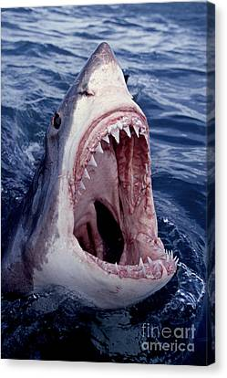 Great White Shark Lunging Out Of The Ocean With Mouth Open Showing Teeth Canvas Print by Brandon Cole