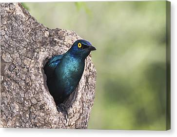 Greater Blue-eared Glossy-starling Canvas Print by Andrew Schoeman