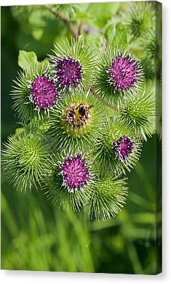 Greater Burdock (arctium Lappa) Canvas Print by Science Photo Library