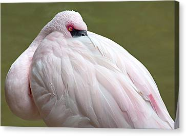 Greater Flamingo Canvas Print