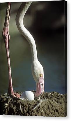 Greater Flamingo And Egg Canvas Print