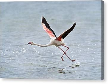 Greater Flamingo Taking Flight Canvas Print