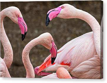 Greater Flamingos (captive Canvas Print