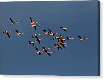 Greater Flamingos In Flight, Camargue Canvas Print
