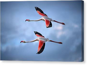 Greater Flamingos Canvas Print