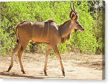 Greater Kudu (tragelaphus Strepsiceros) Canvas Print by Photostock-israel