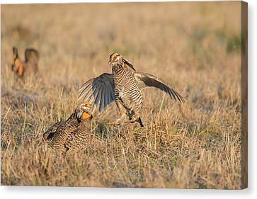 Greater Prairie-chickens (tympanuchus Canvas Print