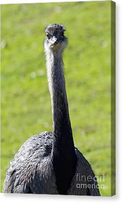 Greater Rhea 7d9043 Canvas Print by Wingsdomain Art and Photography