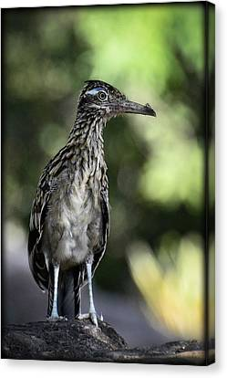 Greater Roadrunner  Canvas Print by Saija  Lehtonen