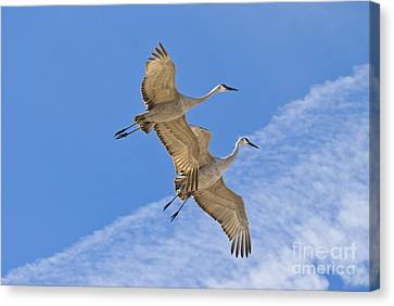Greater Sandhill Cranes In Flight Canvas Print by William H Mullins