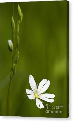 Mothersday Canvas Print - Greater Stitchwort by Anne Gilbert