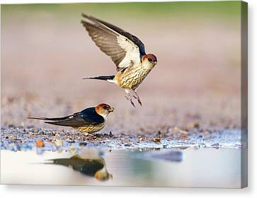 Greater Striped Swallows Canvas Print by Peter Chadwick