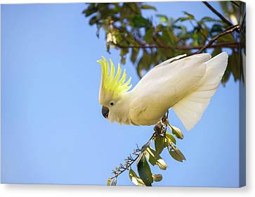 Greater Sulphur-crested Cockatoo Canvas Print