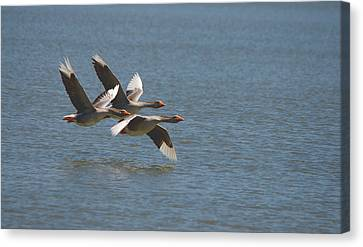 Greater White-fronted Geese In Flight Series 4 Canvas Print