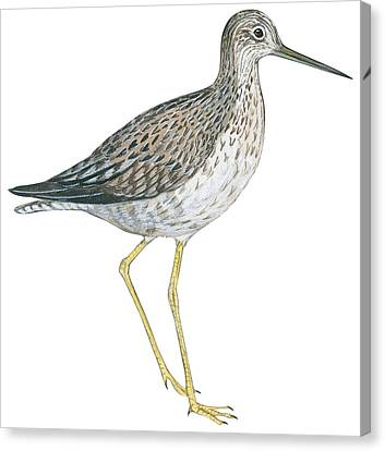 Close Up Canvas Print - Greater Yellowlegs  by Anonymous