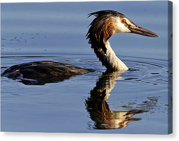 Canvas Print featuring the photograph Grebe At Sunset by Charles Lupica