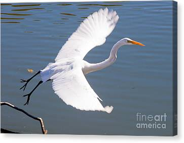 Greeat Egret Flying Canvas Print by Thomas Marchessault