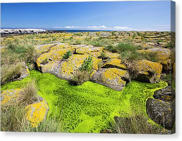 Green Lichen Canvas Print - Green Algae And Yellow Lichen by Ashley Cooper