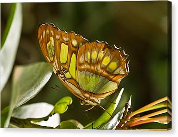 Green And Brown Tropical Butterfly Canvas Print