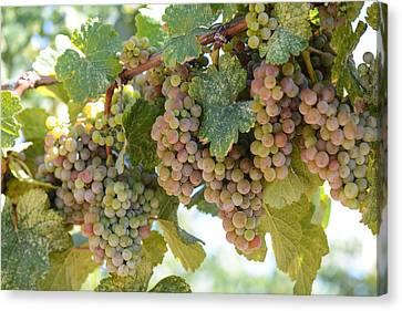 Green And Pink Grapes On The Vine Canvas Print by Brandon Bourdages