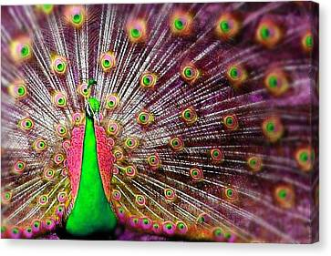Green And Pink Peacock Canvas Print by Diana Shively