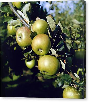 Green Apples On Branch Canvas Print by Anthony Cooper