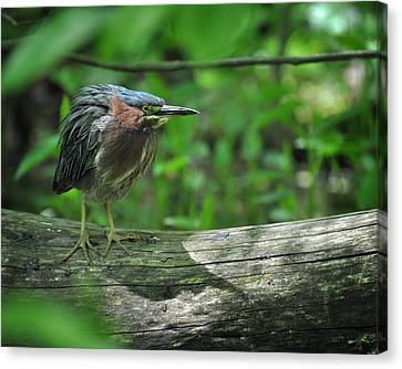 Green Backed Heron At The Swamp Canvas Print by Rebecca Sherman
