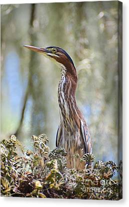 Green Backed Heron In An Oak Tree Canvas Print by Kathy Baccari