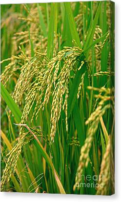 Green Beautiful Rice Farming Canvas Print by Boon Mee