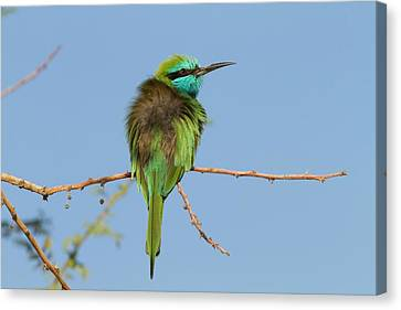 Green Bee-eater (merops Orientalis) Canvas Print by Photostock-israel