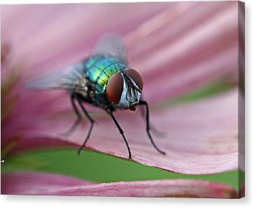 Fly Canvas Print - Green Bottle Fly by Juergen Roth