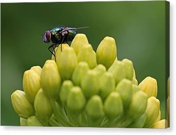Green Bottle Fly Macro Canvas Print by Juergen Roth
