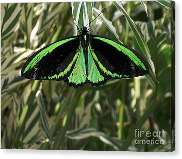 Canvas Print featuring the photograph Green Butterfly by Brenda Brown