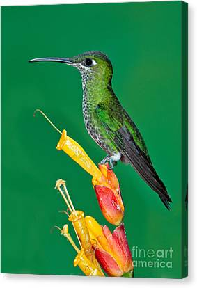 Green-crowned Brilliant Canvas Print by Anthony Mercieca