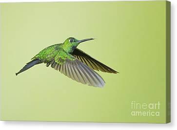 Canvas Print featuring the photograph Green-crowned Brilliant Hummingbird by Dan Suzio