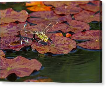 Canvas Print featuring the photograph Green Darner Dragonfly With Friends by Rona Black