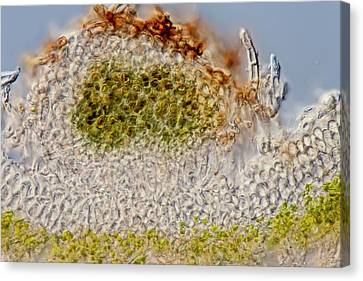 Green Dog Lichen Section Canvas Print by Gerd Guenther