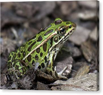 Green Frog Canvas Print by Timothy McIntyre