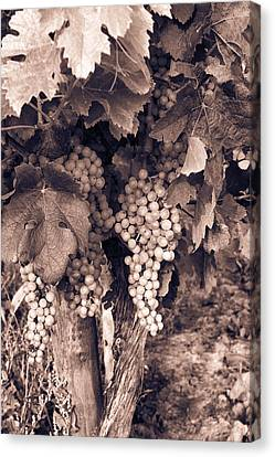 Green Grapes - Toned Canvas Print by Georgia Fowler