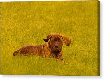 Green Grass And Floppy Ears Canvas Print by Jeff Swan