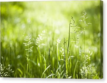 Green Grass Flowering Canvas Print by Elena Elisseeva