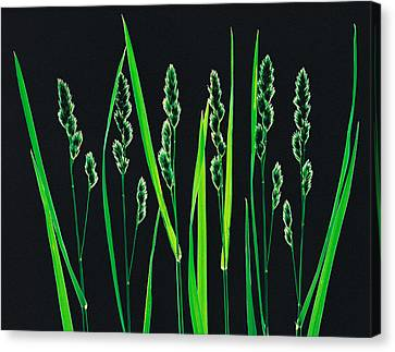 Green Grass Reeds On Black Background Canvas Print