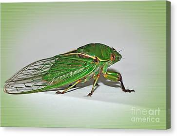 Green Grocer Cicada Canvas Print by Kaye Menner