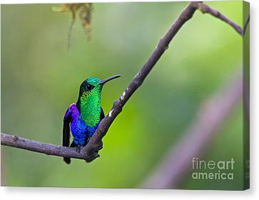 Green-headed Woodnymph Canvas Print