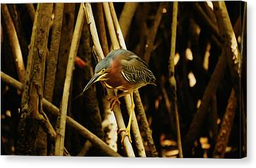 Green Heron Canvas Print by Aged Pixel