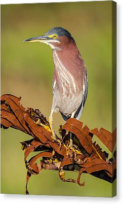 Green Heron Canvas Print by Andres Leon
